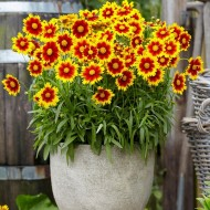 Coreopsis Uptick Red & Gold