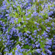 Ceanothus 'Concha' - Large Plant