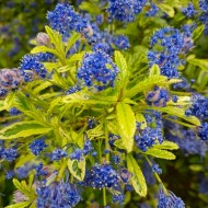 Ceanothus Lemon and Lime - Unique Gold & Green foliage with Bright Blue Flowers