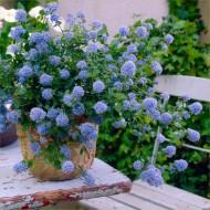 Ceanothus thyrsiflorus repens - Californian Lilac - LARGE Plant