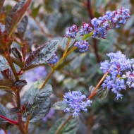 Ceanothus Tuxedo - Chocolate Leaf California Lilac - New & Exclusive