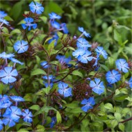 Hardy Cobalt-Blue Plumbago Plants - Ceratostigma griffithii