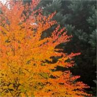 Multi-stem Toffee Apple Tree - Cercidiphyllum japonicum - 120-140cm Katsura Tree