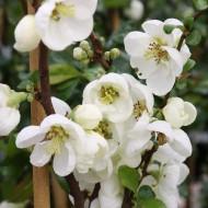 Chaenomeles x superba Jet Trail - Flowering Ornamental Quince