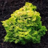 Chamaecyparis obtusa nana gracilis aurea - Hinoke False Cypress - Dwarf Slow Growing Conifer