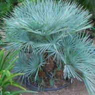 Chamaerops humilis Cerifera - Blue Mediterranean Fan Palm plants