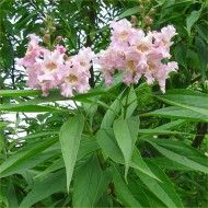 Chitalpa tashkentensis Summer Bells - Desert Willow
