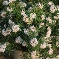 Choisya ternata White Dazzler - Fragrant Mexican Orange Blossom
