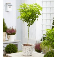 Golden Mexican Orange Blossom Choisya Tree - Perfect for Patios