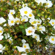 Cistus salviifolius - White Rock Rose