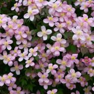Clematis montana rubens - Pink Anemone Clematis