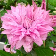 Clematis Multi Pink - Stunning Brand New & Exclusive hardy Climbing Summer Flowering Clematis