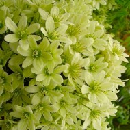 Clematis Pixie - Evergreen Spring Blooming Climber - Lime-Yellow flowers