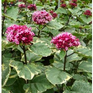 WINTER SALE - Clerodendrum bungei Pink Diamond