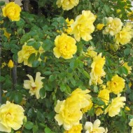 WINTER SALE - Large 6-7ft Specimen - Climbing Rose Golden Age