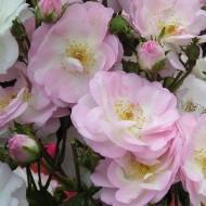 Climbing Rose - Perennial Blush