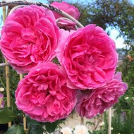 Large 6-7ft Specimen - Climbing Rose Pink Cloud