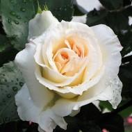 Large 6-7ft Specimen Climbing Rose - Schneewalzer