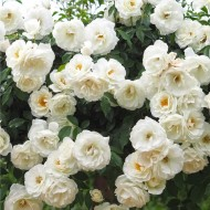 WINTER SALE - Climbing Rose Snow Storm