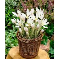 Colchicum autumnale 'Album' - White Flowered Autumn Crocus Bulb