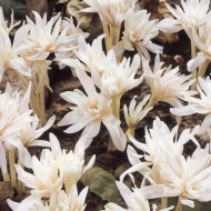 Colchicum autumnale 'Alboplenum' - Rare Double Flowered White Autumn Crocus Bulb