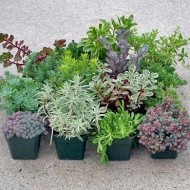 Hardy Succulent Sedum Collection - Pack of FIVE Evergreen Hardy Plants - Perfect Ground cover