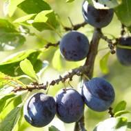 Plum - Prunus domestica Hauswetsche - German Purple Plum