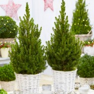 Pair of Compact 60-70cm Contemporary Christmas Trees in Festive Baskets