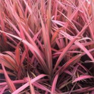 WINTER SALE - Cordyline australis Coral - New Coral-Pink Leaf Cordyline