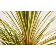 Cordyline Torbay Dazzler - Exotic Variegated Palm - LARGE Specimen