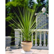 Cordyline australis Verde - Green Torbay Palm 60cms tall