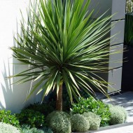 SPECIAL DEAL - Cordyline australis - GIANT EXTRA LARGE 5-6ft Specimen Palm