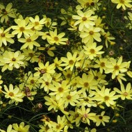 Coreopsis Moonbeam - Tickseed