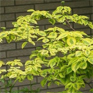 Cornus alternifolia Golden Shadows - Golden Wedding Cake Pagoda Tree