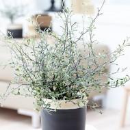 Silver Corokia Cotoneaster - Wire Netting Bush