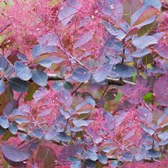 Cotinus Dusky Maiden - Smoke Bush