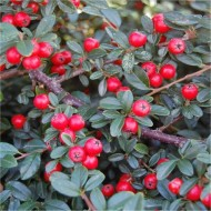 Cotoneaster Coral Beauty - LARGE