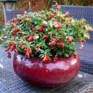 Red Candy Cranberry Plant in Berry - Grow your own Cranberries - Unusual Gift Idea