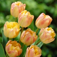 Tulip Cream Upstar