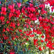 Chilean Lantern Tree - Crinodendron hookerianum