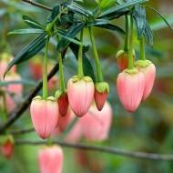 Crinodendron hookerianum Ada Hoffman - Pink Chilean Lantern Tree
