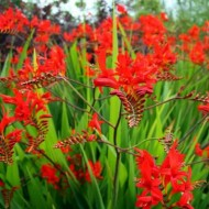 Crocosmia 'Lucifer' - Blood Red Montbretia - Pack of 10