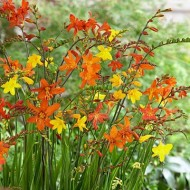 BULK PACK - Crocosmia 'Molten Lava' - Mixed shades of Montbretia - Pack of TEN Plants