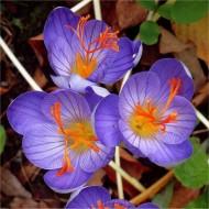 Crocus - Autumn Flowering Crocus Speciosus - Pack of 10 Bulbs