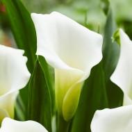 Zantedeschia Crystal Queen - Calla Lily - Pack of TEN Bare root