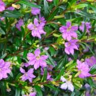 Mexican Heather - Cuphea hyssopifolia - Dwarf Evergreen Flowering Shrub