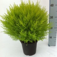 Lemon Scented Monterey Cypress Ball