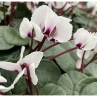 Hardy Cyclamen Coum - Pink Eyed White