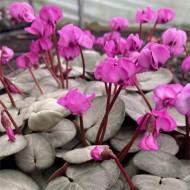 Hardy Cyclamen Coum - Silver Leaf Pink
