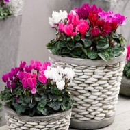 Patio Mini Cyclamen - Pack of Three in Assorted Colours